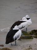 Australian Pelicans Royalty Free Stock Photos