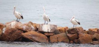 Australian Pelicans (Pelecanus conspicillatus) Stock Image