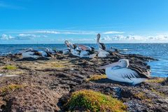 Australian Pelicans on the rocks in Beaumaris royalty free stock images
