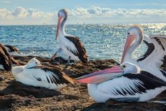 Australian Pelicans and sailing boats 3 royalty free stock photo