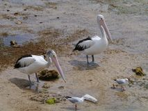 Australian Pelicans and silver gulls Royalty Free Stock Images