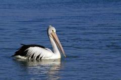 Australian pelicans swimming proud. Australian pelican swimming proud an shark-bay in western australia stock photo