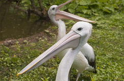Australian Pelicans Royalty Free Stock Photos