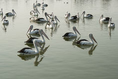 Australian Pelicans Wade in the Water in Lakes Entrance Stock Photo