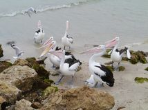 Australian Pelicans waiting for food Stock Photography