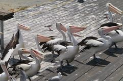 Australian Pelicans waiting for food Royalty Free Stock Photos