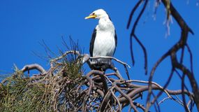 Australian Pied Cormorant Stock Photo