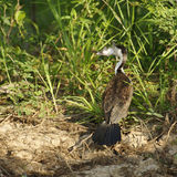 Australian Pied Cormorant Stock Photos