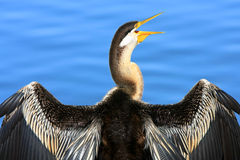 Australian Pied Cormorant enjoying the morning sun Stock Image