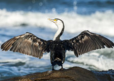 Australian Pied Cormorant with outstretched wings. An Australian Pied Cormorant (Phalacrocorax varius), also known as the Pied Cormorant or Pied Shag Royalty Free Stock Photo