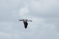 Australian Pied Cormorant (Phalacrocorax varius) Royalty Free Stock Photo
