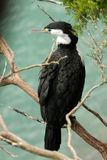 Australian pied cormorant , Phalacrocorax varius,New Zealand South Island Stock Photo