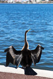 Australian Pied Cormorant at Swan River Stock Photos