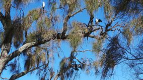 Australian Pied Cormorants and Australasian Darter Royalty Free Stock Image