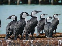 Australian Pied Cormorants Royalty Free Stock Images