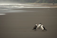 Australian Pied Cormorants on volcanic beach Stock Photography