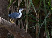 Australian Pied heron. Stock Photos
