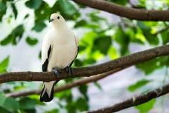 Australian Pied Imperial Pigeon Stock Photo