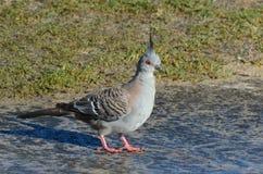 Australian pigeon Royalty Free Stock Photo