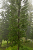 Australian Pine Tree (Araucaria heterophylla) Stock Photos