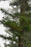 Australian Pine Tree (Araucaria heterophylla) Stock Image