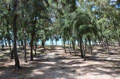 Australian pine tree forest - Casuarina equisetifolia Stock Photos