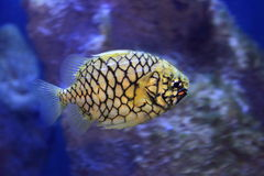Australian pineapplefish Royalty Free Stock Photography
