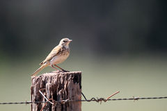 Australian Pipit Royalty Free Stock Images