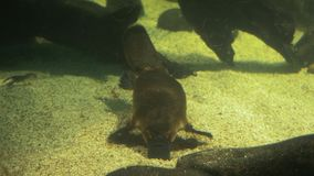 Australian platypus feeding. Close up of a platypus searching for food stock footage