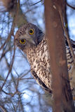 Australian Powerful Owl (Ninox strenua) Stock Images
