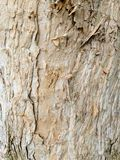 Australian Punk Tree Bark stock images