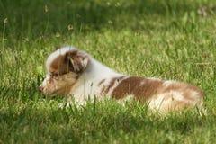 Australian puppy stock image