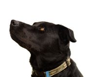 Australian pure bred kelpie black dog Stock Image