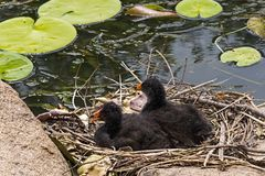 Australian purple swamp hen chicks on nest. Two chicks sitting on the nest made of sticks and reeds on rocks surrounded by water and waterlilies. Scientific name stock images