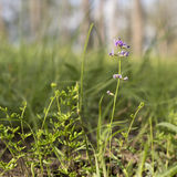 Australian Purple Wildflower Glycine in Eucalypt Grassland Royalty Free Stock Photography