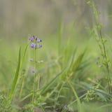 Australian Purple Wildflower Glycine Tabacina Royalty Free Stock Photos