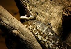 Australian python Royalty Free Stock Photography