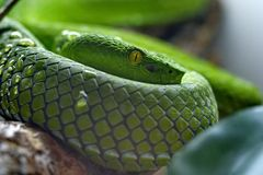 Australian pythons, Green python, or wood python Latin Morelia viridis - a kind of rhombic pythons. They live in Indonesia royalty free stock photo