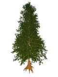 Australian or queensland red toon, burma, indian. Australian or queensland red toon or toona, burma, indian, moulmein cedar, toona ciliata tree isolated in white Stock Image