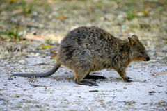Australian Quokka Royalty Free Stock Photos
