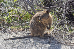 Australian Quokka in Bushland Royalty Free Stock Image