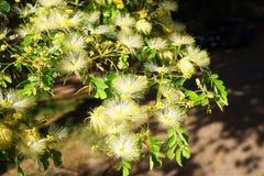 Australian rain tree silk plant in flower. Native tropical Australian raintree albizia lebbeck, or silk tree with beautiful perfumed flowers Stock Photo