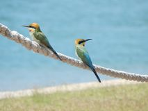 Australian Rainbow Bee-Eaters. A couple of Australian Bee eaters on Boyne Island in Queensland. Rainbow bee-eaters mostly eat flying insects, but, as their name royalty free stock image