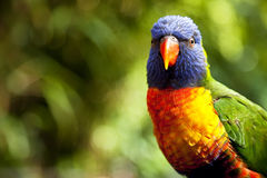 Australian Rainbow Lorikeet Stock Photo