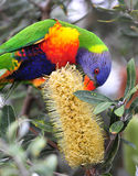 Australian rainbow lorikeet. Feeding on bottlebrush, byron bay, australia. colorful parrot exotic bird Stock Image