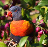 Australian Rainbow Lorikeet. A closeup of a wild Australian Rainbow Lorikeet eating a juicy ripe Lilli Pilli berry.  Species: Trichoglossus haematodus Stock Photo
