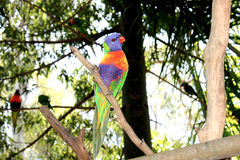 Australian Rainbow Lorikeet at Cleland Wildlife Park. In Adelaide Hills - South Australia Royalty Free Stock Photography
