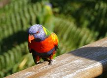 Australian rainbow lorikeet. Colorful rainbow lorikeet (Trichoglossus haematodus) in Australia Stock Images