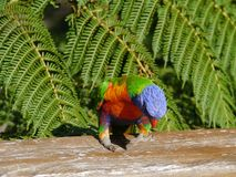 Australian rainbow lorikeet. Colorful rainbow lorikeet (Trichoglossus haematodus) in Australia with a tree fern in the back Stock Images