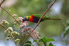 Australian Rainbow Lorikeet. A colourful Rainbow Lorikeet enjoying the nectar from a pretty pink flowering tree Royalty Free Stock Photos
